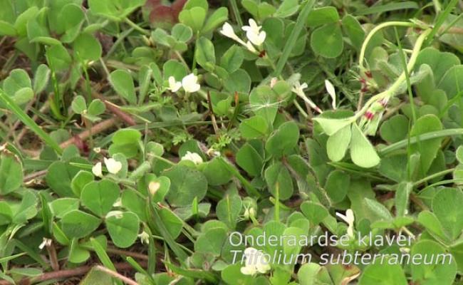 Onderaardse klaver, Trifolium subterraneum