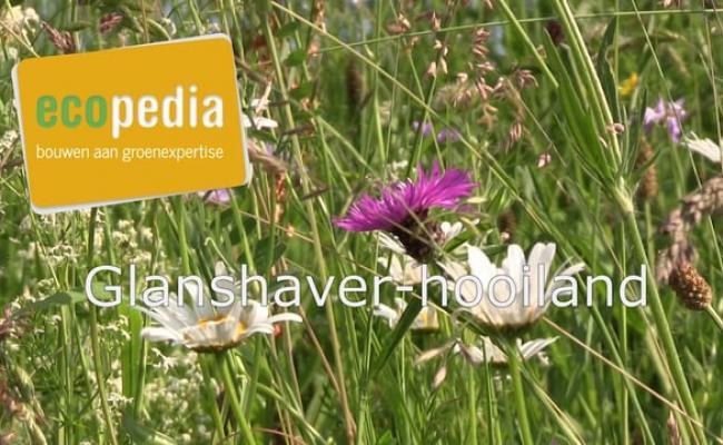 Glanshaver-hooiland