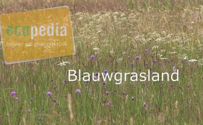 Blauwgrasland