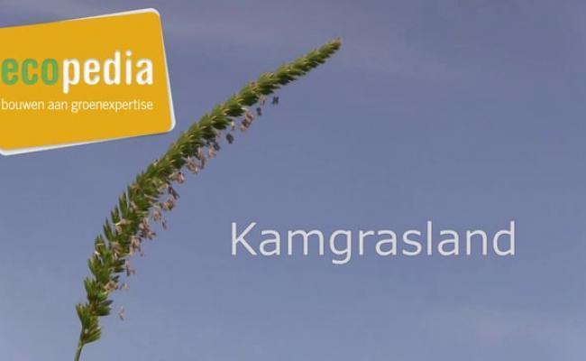 Kamgrasland