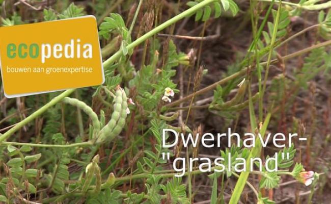 "Dwerghaver ""grasland"""