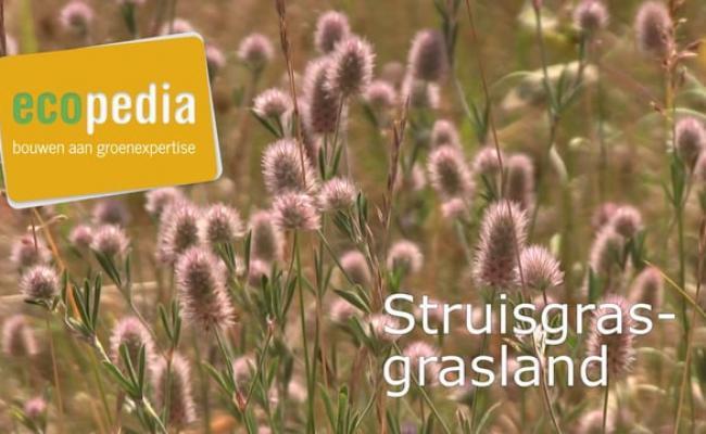 Struisgras-grasland