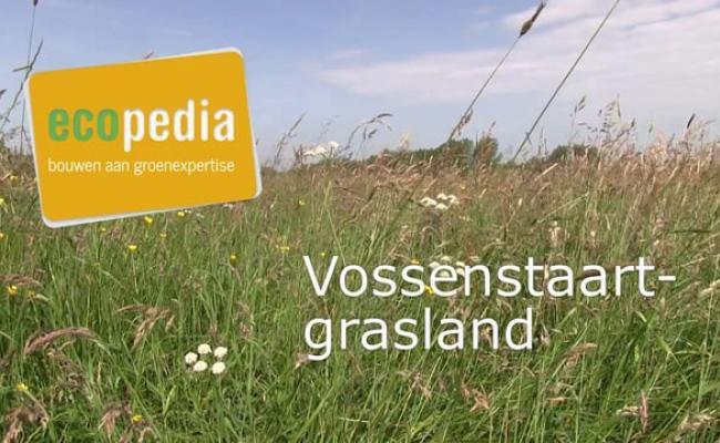 Vossenstaartgrasland