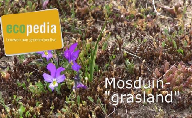 """Mosduin""""grasland"""""""